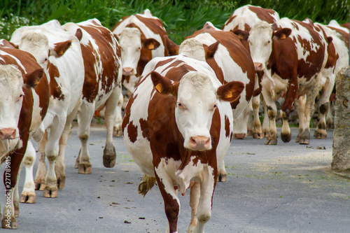 Canvastavla vache