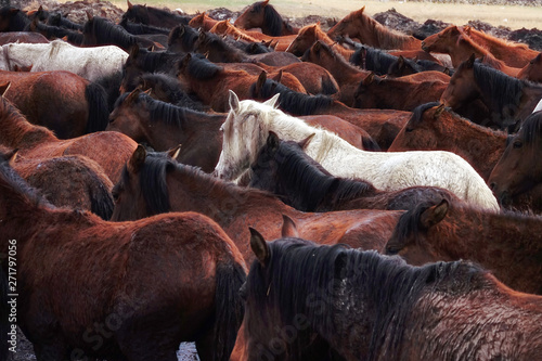Close up herd of wild horses resting in river water in nature