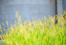 Closeup Of Foxtails In Field