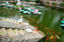 Koi Fish Pond With Duck Goose ...