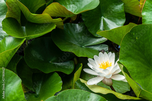 Door stickers Water lilies flower of water lily white hatched