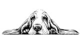 Fototapeta Psy -  Dog breed Basset Hound. Sticker on the wall in the form of a graphic hand-drawn sketch of a dog portrait.