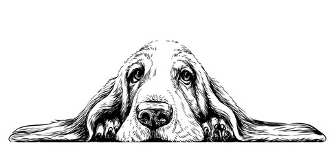 Fototapeta Pies Dog breed Basset Hound. Sticker on the wall in the form of a graphic hand-drawn sketch of a dog portrait.