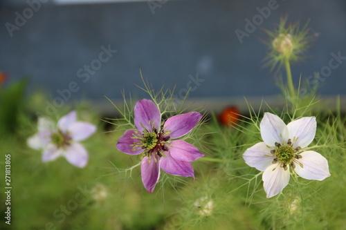 фотография Blumen blühen im Balkonkasten / Jungfer im Grünen