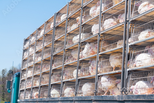Photo Truck with many sick sad turkeys transported to slaughterhouse for Thanksgiving