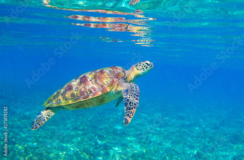 Poster Tortue Sea turtle in sunlight. Tropical lagoon Green turtle underwater photo. Wild marine animal in natural environment.