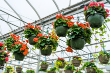 Hanging Baskets Full Of Begonias.
