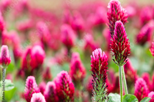 Fond de hotte en verre imprimé Rose banbon Field of flowering crimson clovers (Trifolium incarnatum) Rural landscape.