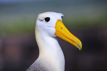 Portrait Of Waved Albatross On...