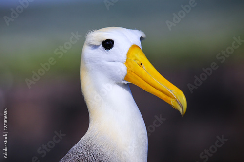 Portrait of Waved albatross on Espanola Island, Galapagos National park, Ecuador Tablou Canvas