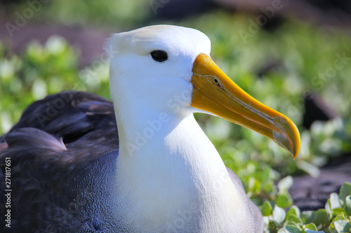 Valokuvatapetti Portrait of Waved albatross on Espanola Island, Galapagos National park, Ecuador