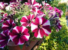 Colorful Mix Of Flowers Of Petunias Growing In The Garden Outdoors At Sunset. Dark Pink With White Flowers Of Striped Petunia. Natural Colors Of Nature Without Special Effects.
