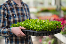 Many Green Plants In Boxing On A Tray. A Man In A Plaid Shirt Holds Seedlings In His Hands.