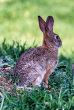 Cute Cottontail Rabbit Standin...