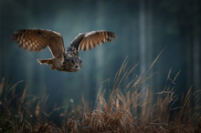Eagle Owl Flying In The Night ...