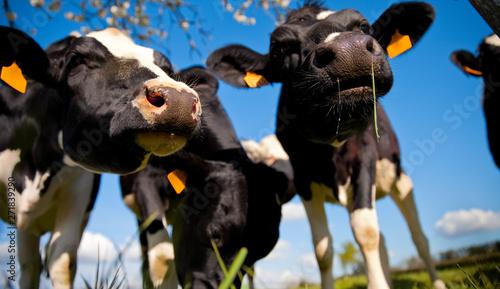 Poster Pays d Asie Vache laitière pleine d'humour