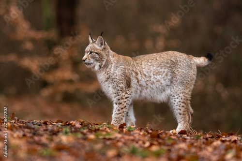 Spoed Foto op Canvas Lynx The Eurasian lynx (Lynx lynx) a young lynx resting in a forest. Autumn scene with a big european cat. Portrait of a cat predator. Portrait of a young lynx.