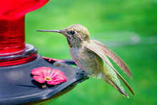 Hummingbirds Of Phoenix