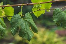 Green Grape Leaves On The Bran...