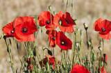 Piękne wiosenne kwiaty maku - 271847426