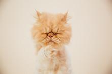 Beautiful Persian Cat Posing For The Camera.