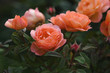 Beautiful coral roses in garden