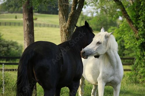 white and black horses