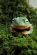 the tree frog prepares to get up from his sleep ( rhacophorus reinwardtii )