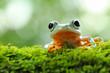 tree frog, java tree frog, flying frog sitting on moss ( rhacophorus reinwardtii )