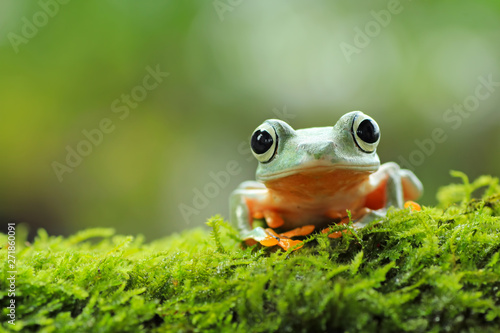 Photo sur Toile Grenouille tree frog, java tree frog, flying frog sitting on moss ( rhacophorus reinwardtii )