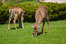 Two Young Whitetail Deer One Facing Camera And The Other Turned Away, Grazing On Dandelions In An Urban Park.