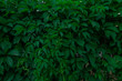 green foliage of a climbing plant in summer