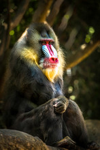 Colorful Mandrill Primate