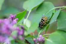 Yellowjacket Resting On Lilac Leaf