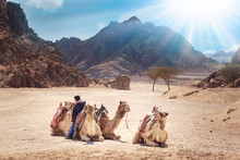 Camels Are In The Sinai Desert, Sharm El Sheikh, Sinai Peninsula, Egypt. Beautiful Sun Day Above Mountains
