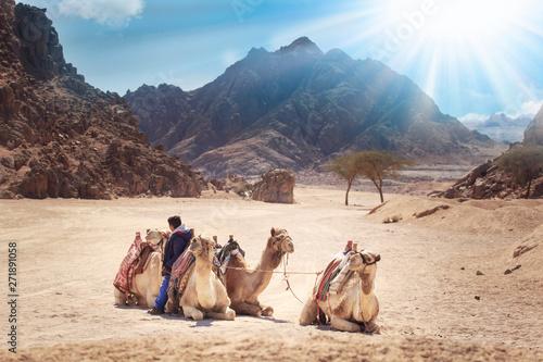 Spoed Fotobehang Kameel camels are in the Sinai Desert, Sharm el Sheikh, Sinai Peninsula, Egypt. beautiful sun day above mountains