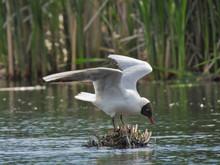 Laughing Gull (Leucophaeus Atricilla) Spreads Wings