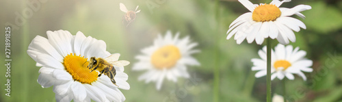 A lot of chamomile in summer meadow in nature in sunshine at sunset and a flying bumblebee. Beautiful summer landscape with field of daisies in sunset. Summer wallpapers. Panoramic wiev