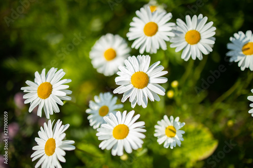 Fototapety, obrazy: healthy camomile, chamomileon the gras backgrounds