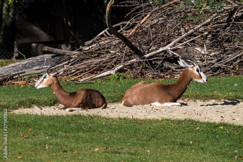 Dama gazelle  Gazella dama mhorr or mhorr gazelle is a species of gazelle