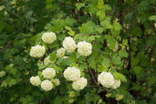 Viburnum Opulus With Many White Flowers In Springtime. Snowball Bush In The Garden