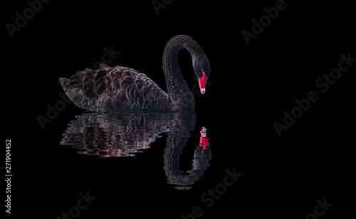 Fotografie, Obraz Black swan on black background (Cygnus atratus)