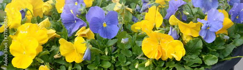 Beautiful violet and yellow blossoming pansies in the spring garden