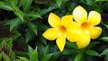 Allamanda Cathartica Native To Brazil And Native Plants Is A Common Ornamental Plant In The Tropics.