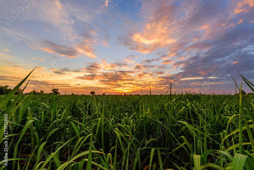Fresh sugarcane field with nice sky in sunset time Wallpaper Mural