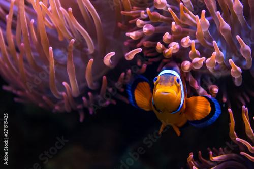 Fotografija farbenfroher Clownfisch im Aquarium