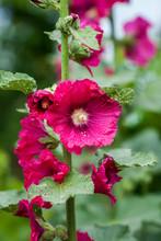 Beautiful Large Althea Floweri...