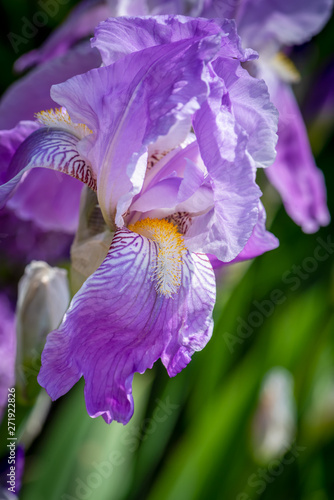 Fotografie, Obraz  outdoor flower macro of a single isolated blue violet open iris blossom on natur