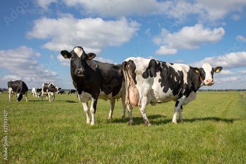 Fotografía  Two mature black and white cows, friesian holstein, standing in a pasture and a herd of cows at a distance in the background under a blue cloudy sky