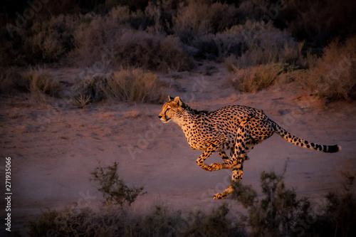 Photo cheetah running down the road at dusk